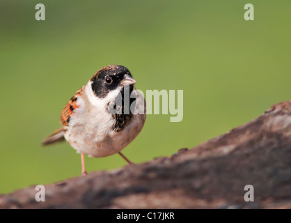 Reed Bunting (Emberiza schoeniclus) perched - Stock Photo