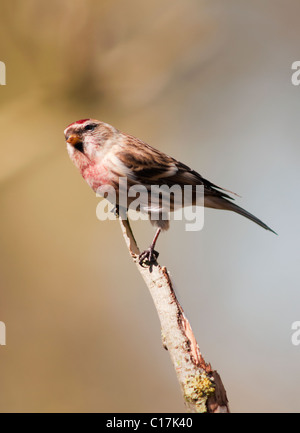 Lesser Redpoll (Carduelis cabaret) perched on top of branch - Stock Photo