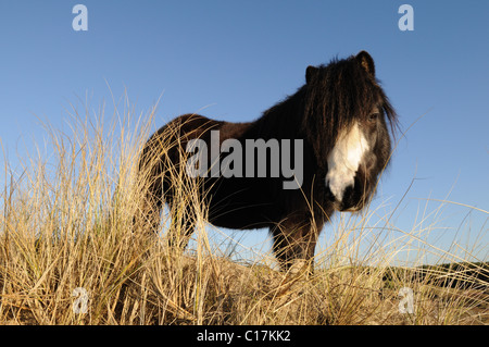 Horse on Whiteford Burrows used for Conservation and vegetation control Gower Peninsula Glamorgan Wales Cymru UK - Stock Photo
