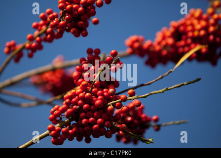 A bunch of American beautyberry - Stock Photo