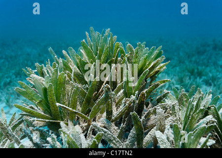 Sea Weed (Zostera sp), meadow, Marsa Alam, Red Se, Egypt, Africa - Stock Photo