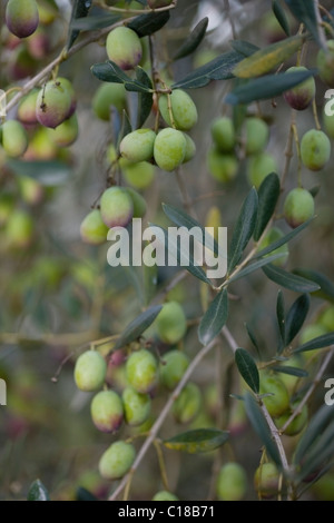 Green olives on tree - Stock Photo