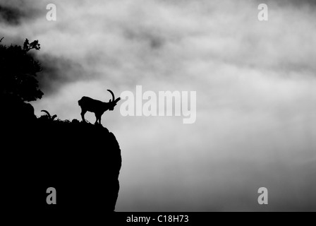 Adult male Spanish Ibex standing on mountainside looking sideways, silhouetted against sky and clouds - Stock Photo