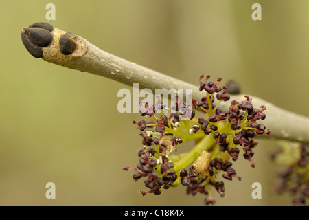 Ash flowers and buds, fraxinus excelsior - Stock Photo