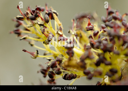 Ash flowers, fraxinus excelsior - Stock Photo