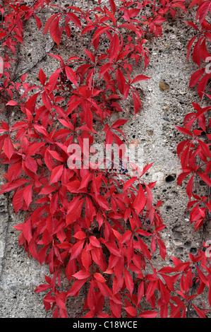 Autumnal leaves, Virginia Creeper (Parthenocissus quinquefolia), Bavaria, Germany, Europe - Stock Photo