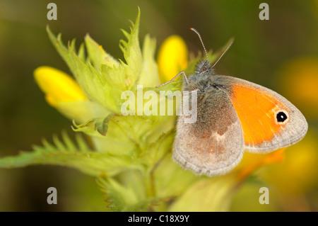 Small Heath (Coenonympha pamphilus) - Stock Photo