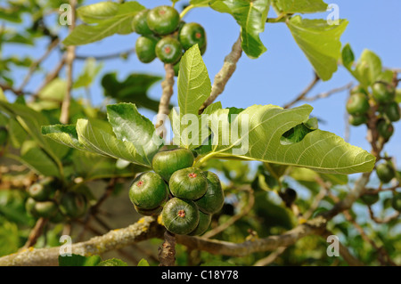Common Fig Tree (Ficus carica) with fruit - Stock Photo