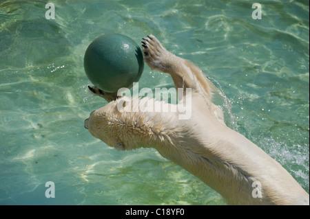 Polar Bear (Ursus maritimus) playing with a ball, Zoo Schoenbrunn, Vienna, Austria, Europe - Stock Photo