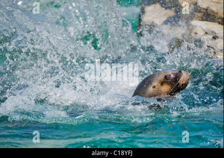 South American Sea Lion or Southern Sea Lion (Otaria flavescens, formerly Otaria byronia) - Stock Photo