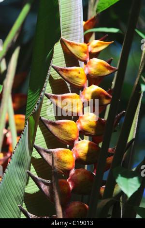 Lobster-claw, Wild Plantain or False Bird-of-Paradise (Heliconia), Onomea Bay, Hawaii, USA - Stock Photo