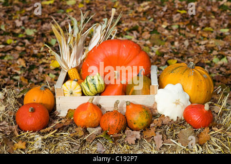 Pumpkins and corn on the cobs in a wooden box on straw, autumn leaves - Stock Photo