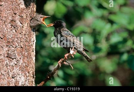 European Starling, Common Starling or Starling (Sturnus vulgaris) at nest - Stock Photo