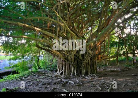 Banyan tree (Ficus) near Rainbow Falls, Hilo, Big Island, Hawai'i, Hawaii, USA - Stock Photo
