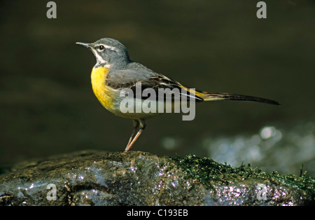 Grey Wagtail (Motacilla cinerea), male - Stock Photo