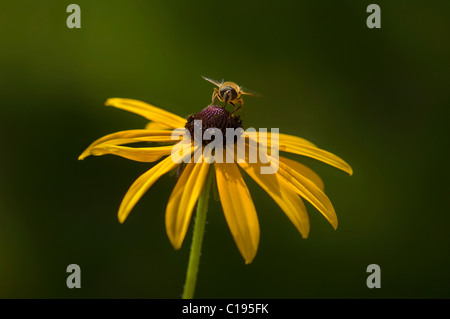 Hoverfly (Syrphidae) on a flower, Orange Coneflower (Rudbeckia fulgida) - Stock Photo