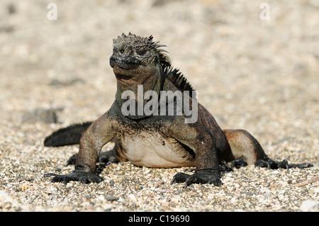 Galapagos Marine Iguana (Amblyrhynchus cristatus mertensi), Santiago Island, Galapagos, Ecuador, South America - Stock Photo