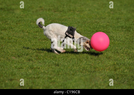 Terrier pushing his pink ball - Stock Photo