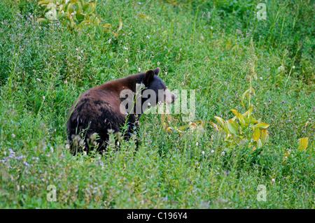 American Black Bear (Ursus americanus) on a meadow, Mount Rainier National Park, Washington, USA, North America - Stock Photo