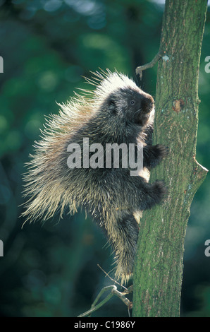 North American Porcupine or Canadian Porcupine or Common Porcupine (Erethizon dorsatum), young climbing a tree - Stock Photo