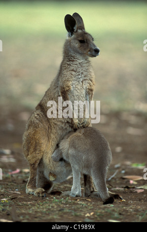 Eastern Grey Kangaroo (Macropus giganteus), adult female and joey, Australia - Stock Photo