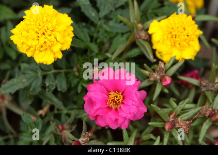 Flowers of Moss-rose Purslane or Moss-rose (Portulaca grandiflora) and Marygold (Tagetes spec.) - Stock Photo