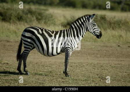 Grant's Zebra (Equus quagga boehmi), pregnant adult mare, Masai Mara, Kenya, Africa - Stock Photo