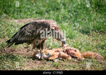 White-tailed Eagle or Sea Eagle (Haliaeetus albicilla), 2-year-old young bird, juvenile plummage, feeding on a fox - Stock Photo