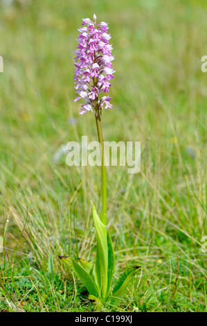 Miliary Orchid (Orchis militaris) - Stock Photo