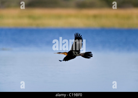 Snakebird or Water Turkey (Anhinga) in flight, Okavango Delta, Botswana, Africa - Stock Photo