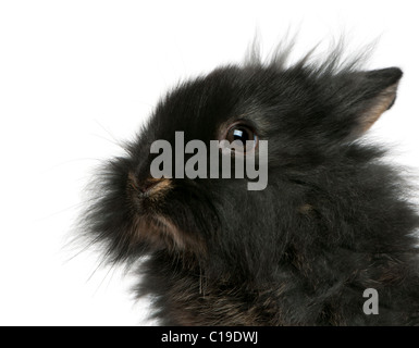 Close-up of young Lionhead rabbit, 2 months old, in front of white background - Stock Photo