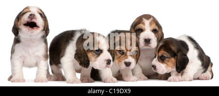 Group of Beagle puppies, 4 weeks old, sitting in a row in front of white background - Stock Photo
