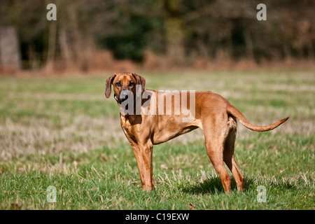 Rhodesian Ridgeback posing for a photo in a field. - Stock Photo