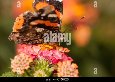 Close up view of the Red Admiral butterfly on the flowers. - Stock Photo
