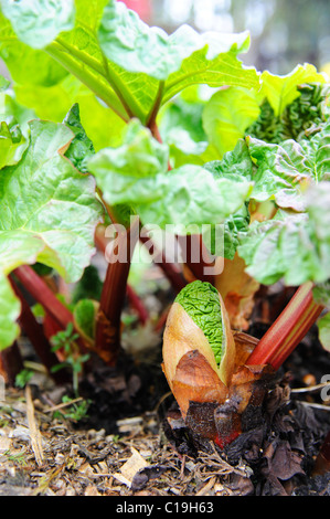 Young rhubarb shoots in a spring allotment - Stock Photo
