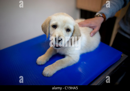 A Golden Retriever puppy dog at a Pet Hospital in Condesa, Mexico City, Mexico, January 24, 2011. - Stock Photo