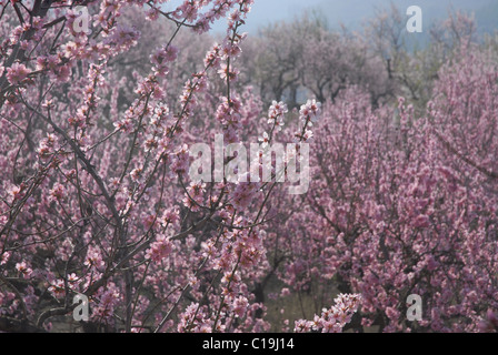 almond blossom in an orchard (prunus dulcis), near Alcalali, Jalon Valley, Alicante Province, Valencia, Spain - Stock Photo