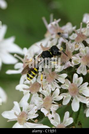 Digger Wasp, Ectemnius cavifrons, Sphecidae, Apoidea, Apocrita, Hymenoptera - Stock Photo