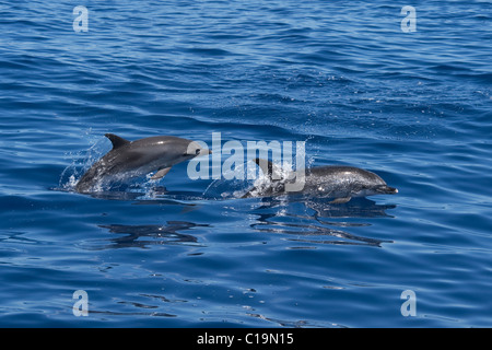 Atlantic Spotted Dolphins (Stenella frontalis) adult Female and calf porpoising. Azores, Atlantic Ocean. - Stock Photo