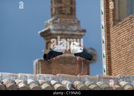 White Stork Ciconia ciconia displaying on cathedral roof Alfaro Spain June - Stock Photo