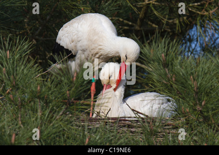 White Stork (Ciconia ciconia) gently preening its mate on their nest - Stock Photo