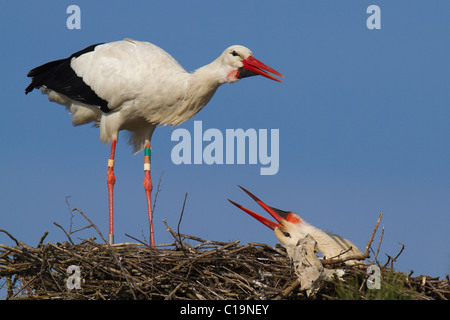 White Stork (Ciconia ciconia) displaying to its mate on their nest - Stock Photo