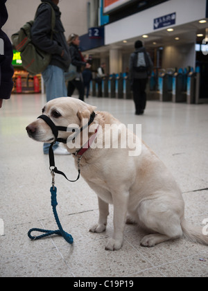 A dog with muzzle on looks unhappy on Waterloo Station, London, England - Stock Photo