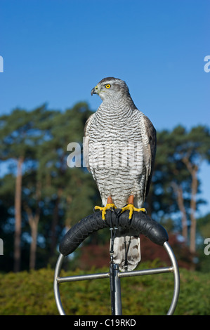 Northern Goshawk Accipiter gentilis falconers bird Lincolnshire - Stock Photo
