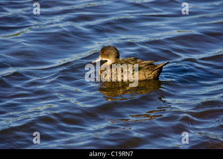 Grey teal (Anas gracilis) swimming on water - Stock Photo