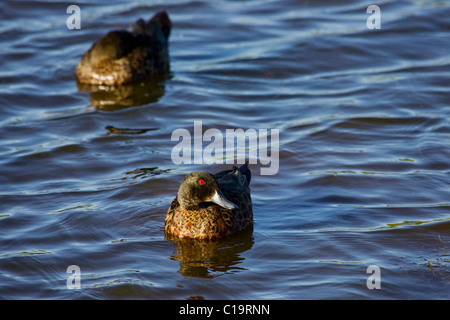 Grey teals Anas gracilis paddling and sleeping on lagoon - Stock Photo