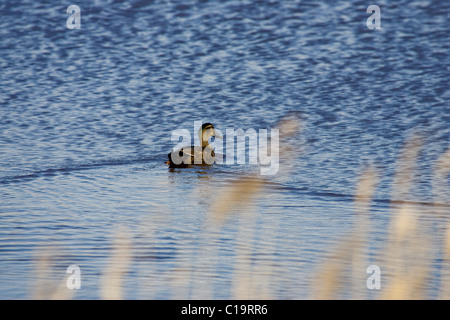 Grey teal (Anas gracilis) paddling on lagoon - Stock Photo