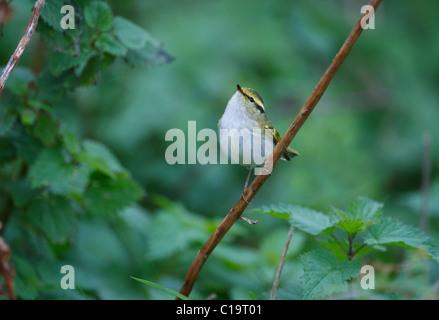 Pallas's Warbler Phylloscopus proregulus Burnham Overy Dunes Norfolk Oct 13 2010 - Stock Photo
