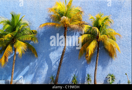 Coconut palm trees over blue wall sun shadows tropical climate - Stock Photo