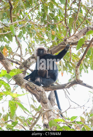 Low angle view of a langur sitting on a tree with its suckling, Thekkady, Periyar National Park, Kerala, India - Stock Photo